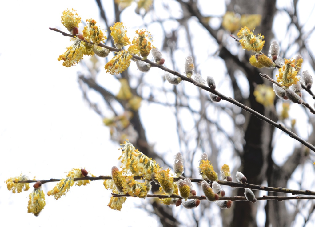 pussy willows in spring