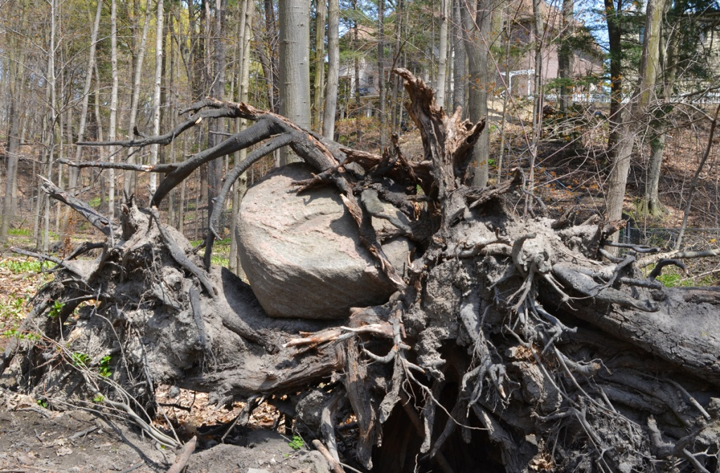 A large granite boulder entangled in the roots of tree that has fallen over