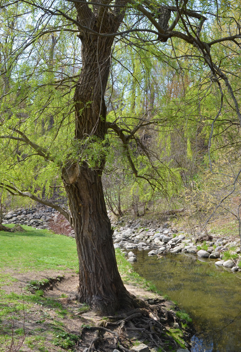 large tree on a grassy field beside a creek lined with rocks, early spring, willow leaves are just beginning to show, a pale green colour