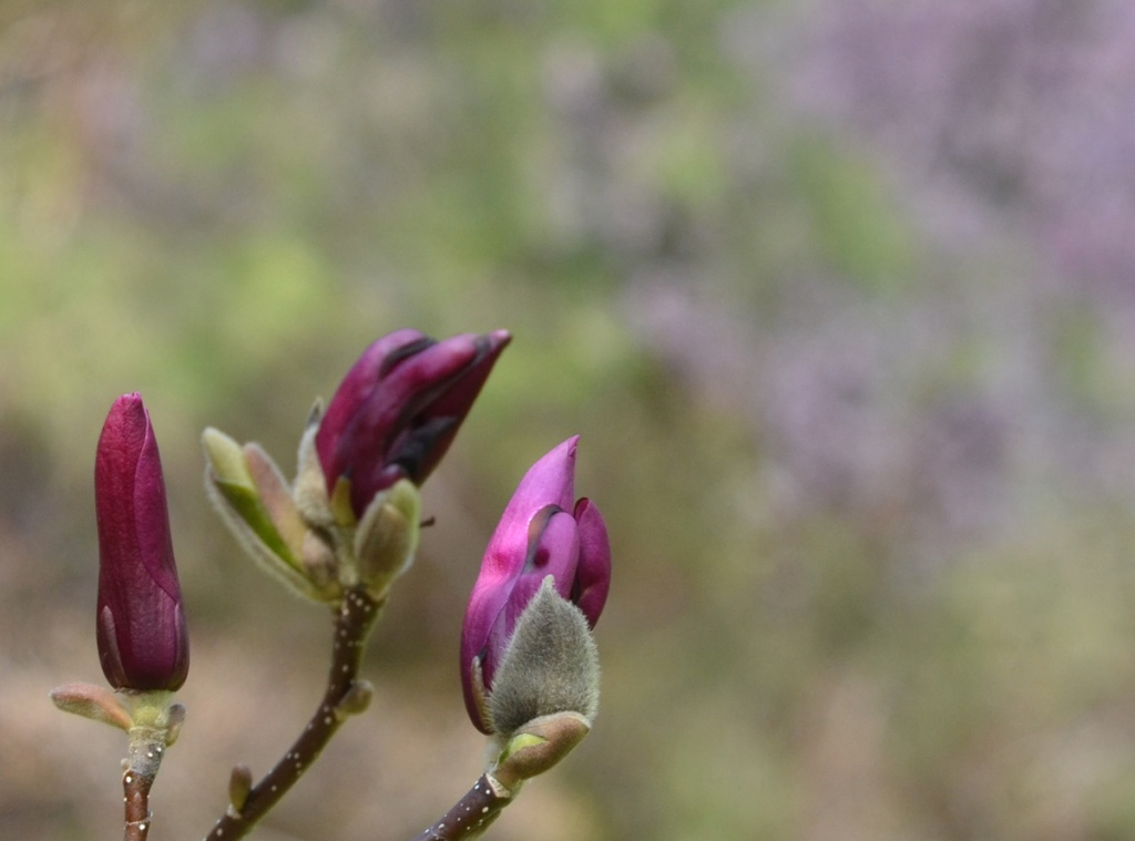 Three magenta magnolia buds ready to open up, grey fuzzy bottom part of the bud included