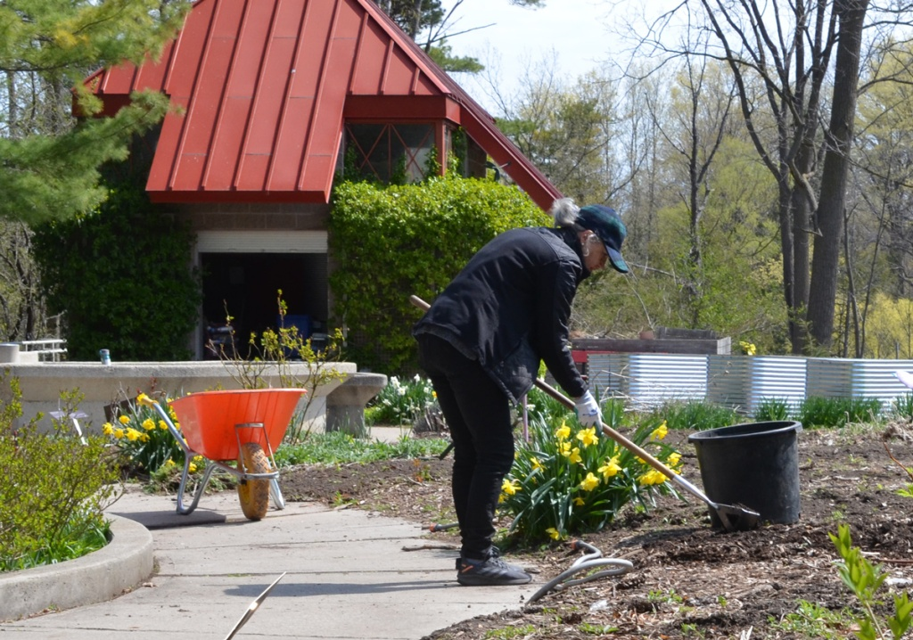 A woman with grey hair and a blue baseball cap is hoeing weeds out of a garden, orange yellow wheelbarrow beside her, Edwards Garden