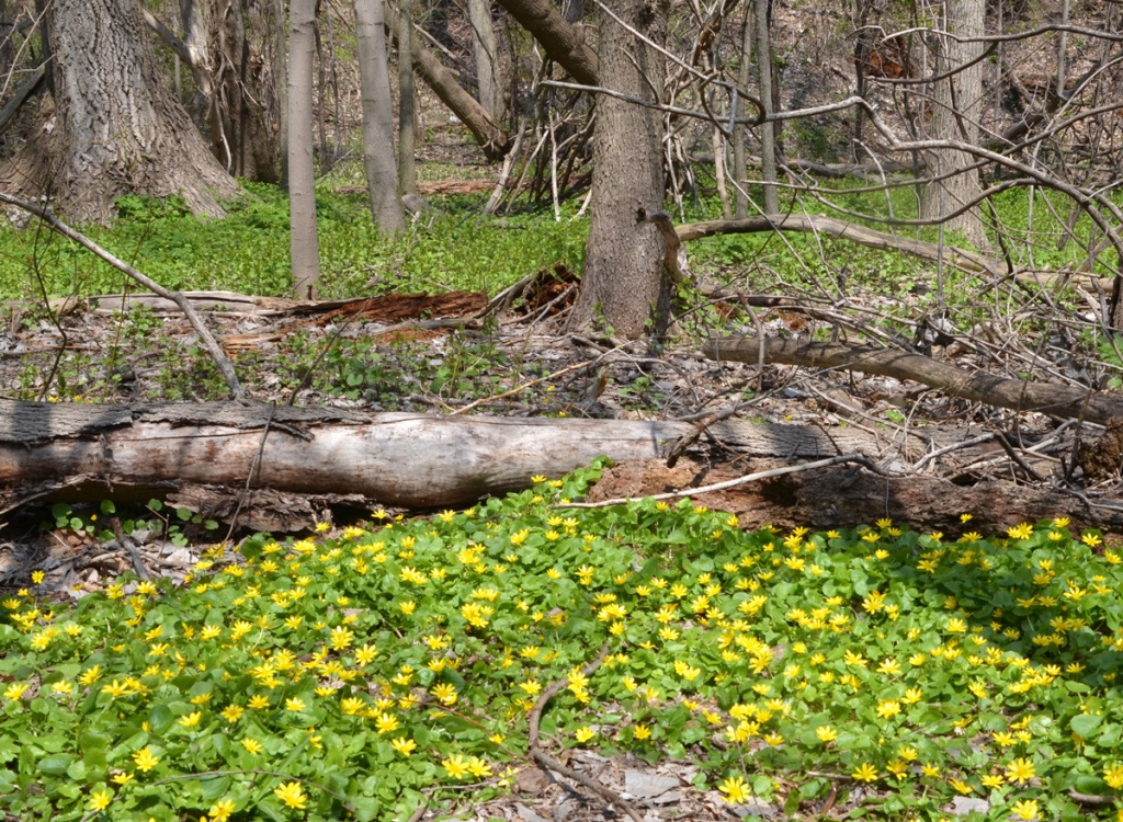 A large patch of low yellow flowers and greenery in front of a tree that has fallen down, tree trunks in the background