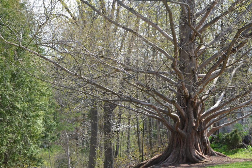 large dawn redwood tree, also called metasequoia, no leaves, very early spring