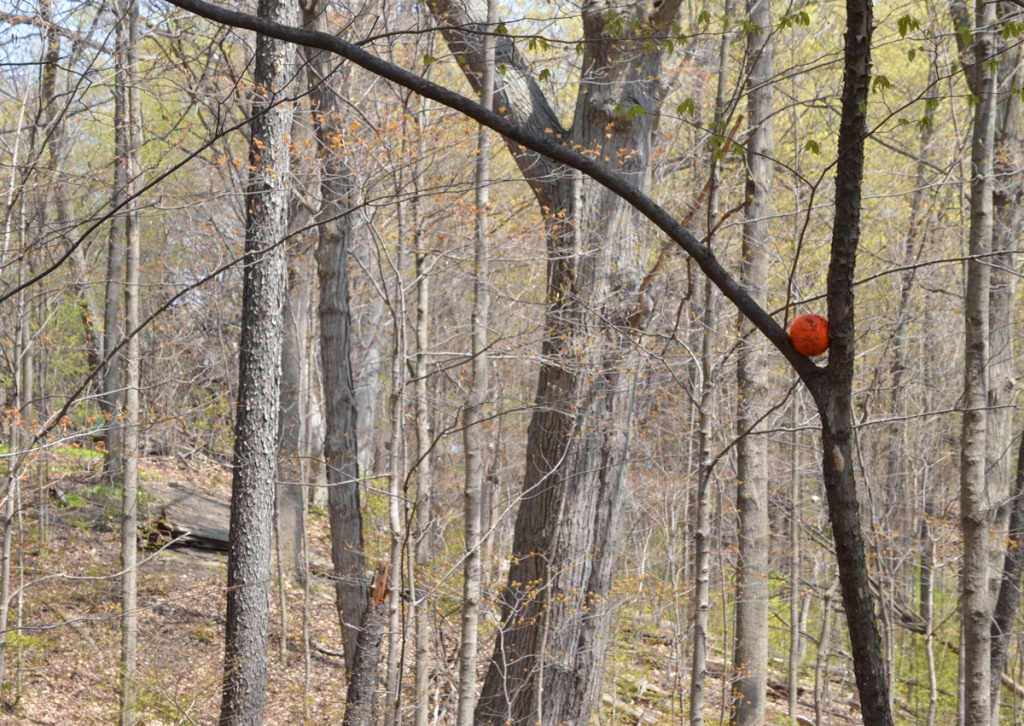 orange tennis ball stuck in the V of a tree, between two branches, in a forest