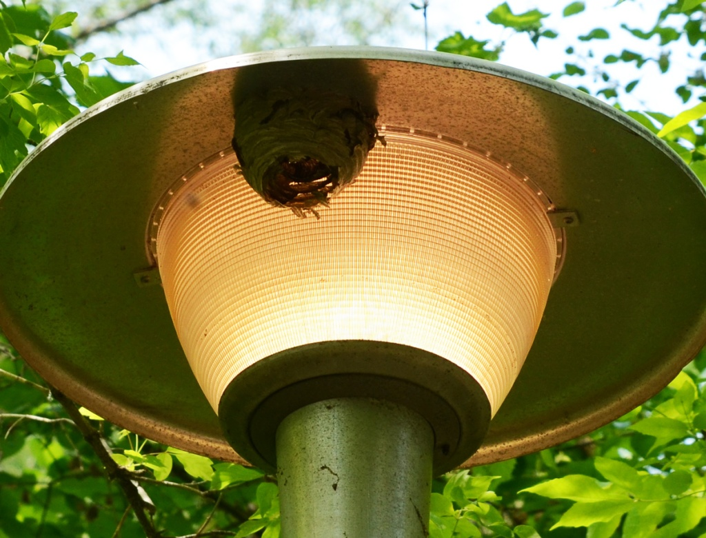 wasps making a nest on the upper edge of a light on a trail in a Toronto park