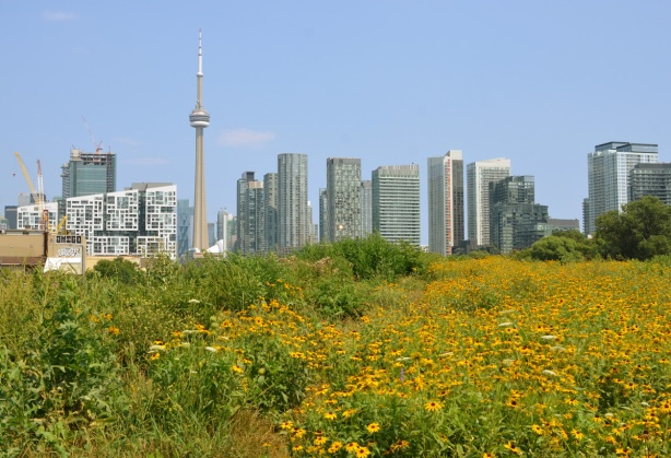 field of yellow wildflowers at garrison common, with view of CN Tower and Toronto skyline in the background