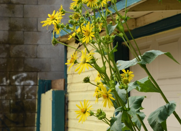 yellow flowers growing in the laneway, in front of a yellow and green garage and fence